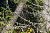 Western red cedar tree with epiphytes, Mitchell River, Cariboo-Chilcotin region, British Columbia