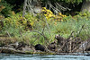 Mother girzzly and three cubs eating sockeye salmon, Mitchell River, Cariboo-Chilcotin, British Columbia