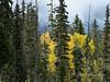 Fall stand of aspens, Mitchell River, Cariboo-Chilcotin region, British Columbia