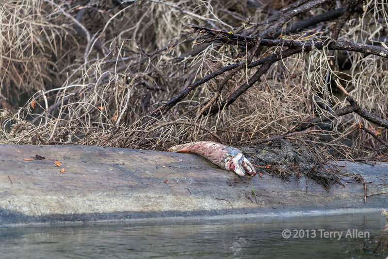 Sockeye salmon remains left by a grizzly bear, Mitchell River, Cariboo-Chilcotin Region, British Columbia