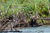 Mother grizzly with long claws and her cub eating a sockeye salmon, Mitchell River, Cariboo-Chilcotin, British Columbia