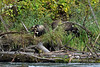 Grizzly cub with a sockeye salmon with the mother grizzly in the bushes, Mitchell River, Cariboo-Chilcotin, British Columbia