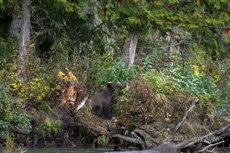 Mother grizzly sniffing a scent, Mitchell River, Cariboo-Chilcotin, British Columbia