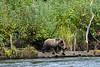 Cinnamon-coloured grizzly bear cub with sockeye salmon, Mitchell River, Cariboo-Chilcotin, British Columbia