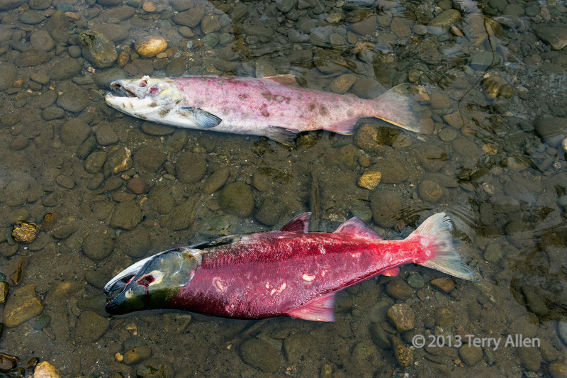 Dead male and female sockeye salmon, post-spawning, Mitchell River, Cariboo-Chilcotin country, British Columbia<br /> <br /> Sockeye salmon swim hundreds of miles up into the interior of British Columbia to spawn and die.  They reach the Mitchell River via the Fraser River and Quesnel Lake.  The dead and dying salmon feed a rich community of bears, wolves, eagles and other wildlife, who drag their bodies into the forest to add nutrients to the plants that grow there. Plant species that efficiently take up nutrieints from the decomposing bodies of salmon flourish, and attract more song birds to the dense growths of wild berry bushes and the increased numbers of insects near the salmon rivers.