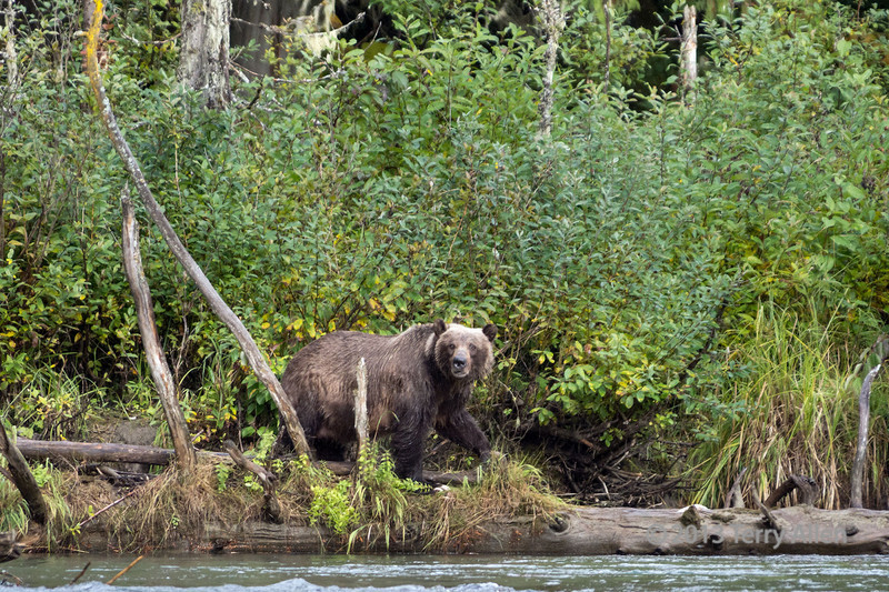 Female grizzly with long white claws, Mitchell River, Cariboo-Chilcotin country, British Columbia