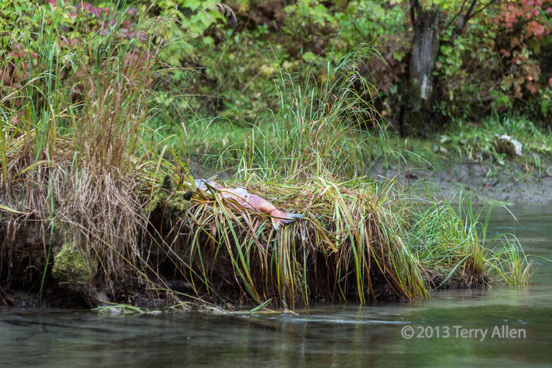 Dead sockeye salmon on the banks of the Mitchell River, likely dragged there by a grizzly bear, Cariboo-Chilcotin, British Columbia