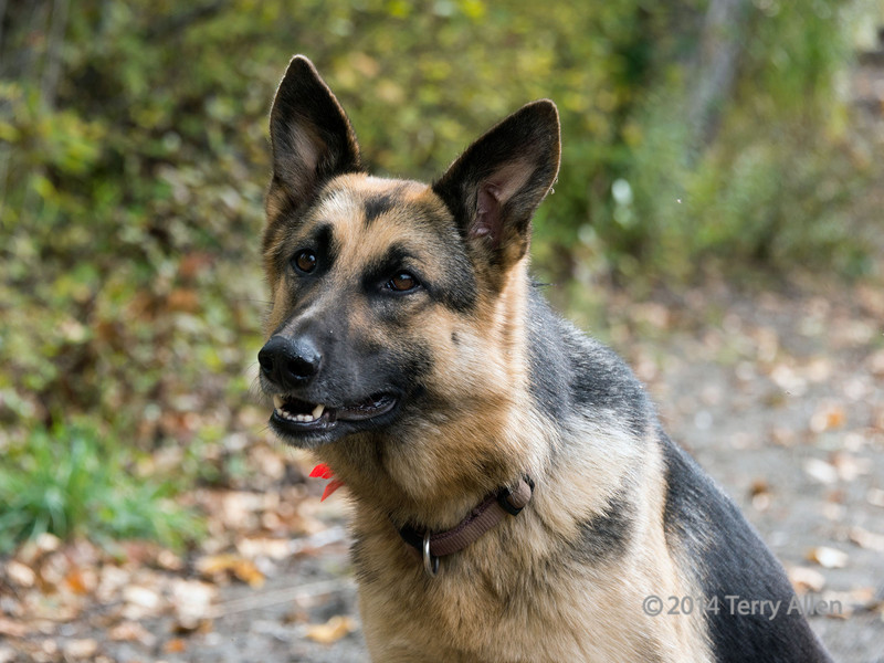 "Meet Dixie, a beautiful young female shepherd who accompanied me on my tour of the ghost town of Quesnel Forks<br /> <br /> Quesnel Forks dates back to 1859 when the town of Quesnel Forks was established at the junction of the Quesnel and Cariboo Rivers to support the Cariboo Gold Rush of 1860-1862.  The town was finally abandoned in the 1950s. <br /> <br /> Other photos from the cemetery and ghost town can been seen here, including a Tong house and its fascinating history: <a href=""http://goo.gl/2YhQFU"">http://goo.gl/2YhQFU</a><br /> <br /> 20/1/14  <a href=""http://www.allenfotowild.com"">http://www.allenfotowild.com</a>"