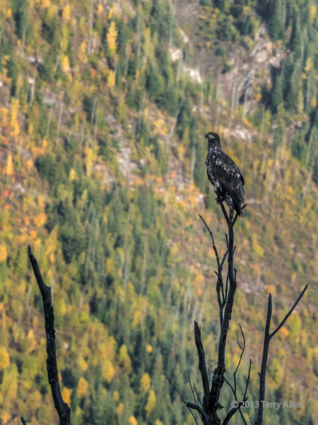 Golden eagle, Mitchell River estuary, British Columbia