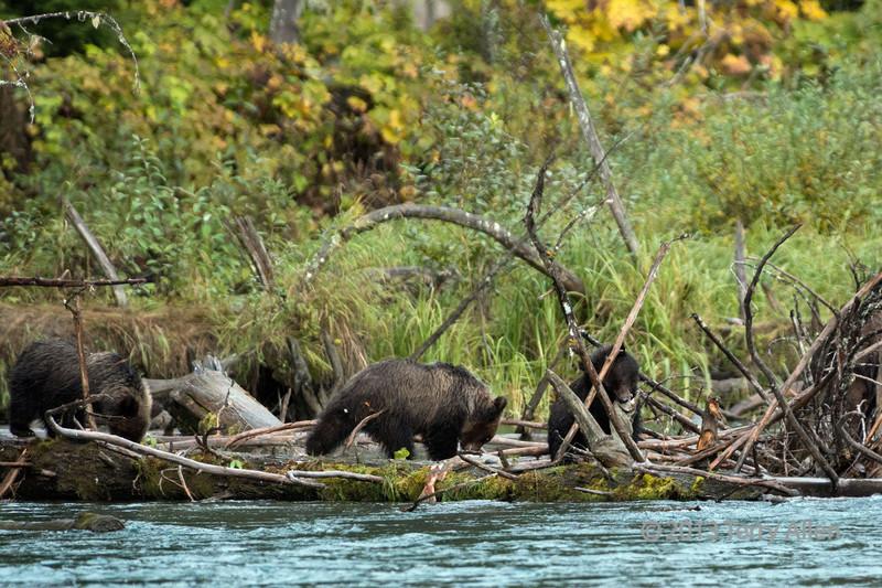 Three bear cubs eating sockeye salmon, Mitchell River, Cariboo-Chilcotin, British Columbia