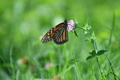 Monarch Butterfly somewhere random in Kansas City, Kansas