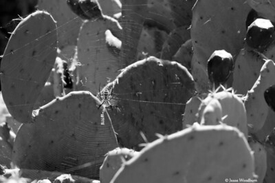 Spider and Web on Prickly Pear Cactus