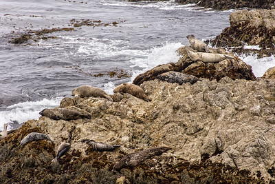 Sea lions, Pebble Beach