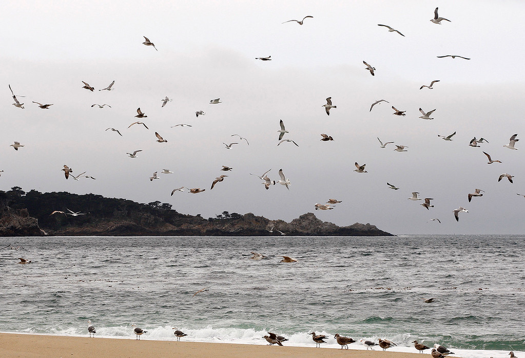 . Gulls with a backdrop of Point Lobos from Carmel River State Beach on Wednesday, March 21, 2018.  (Vern Fisher - Monterey Herald)