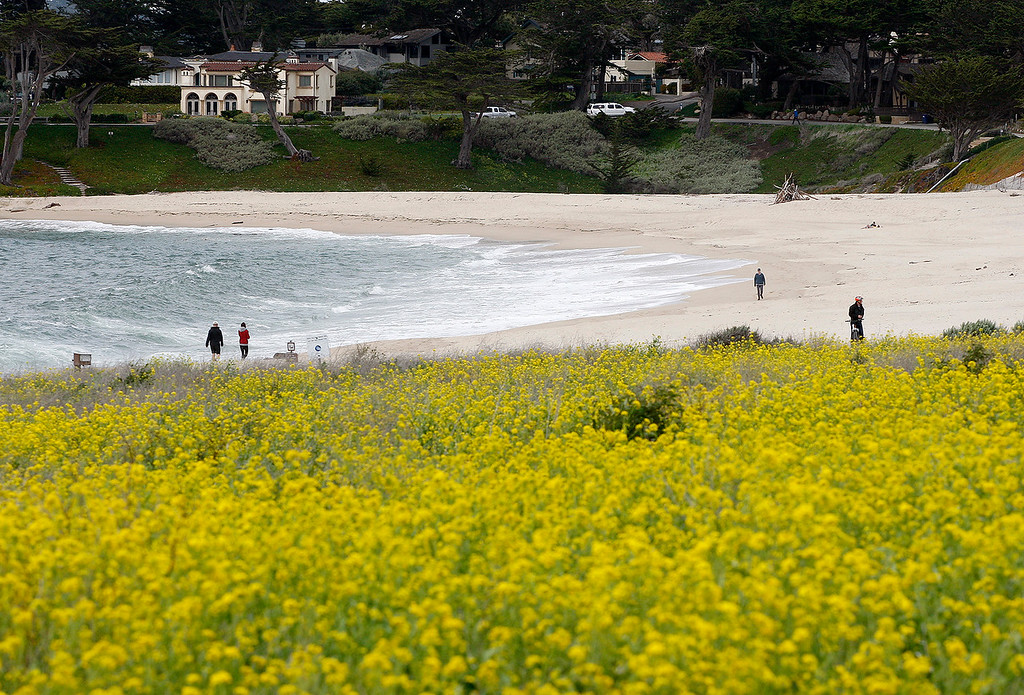 . Spring wildflowers at Carmel River State Beach on Wednesday, March 21, 2018.  (Vern Fisher - Monterey Herald)