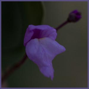 Utricularia purpurea, July 2014