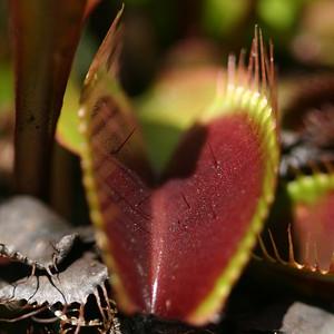 Dionaea muscipula - cultivated at North Carolina Botanical Garden (NCBG) - 20040507_cdr_img_0153