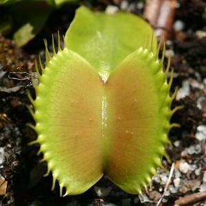 Dionaea muscipula - cultivated at North Carolina Botanical Garden (NCBG) - 20040507_cdr_img_0191