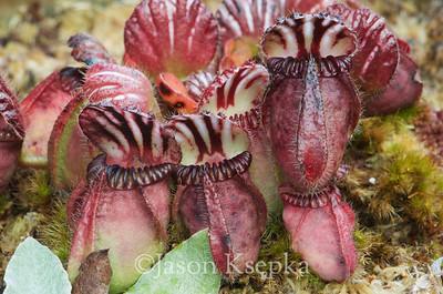Cephalotus folicularis, Albany Pitcher Plant; Hamilton Square, New Jersey  2013-11-22  #15