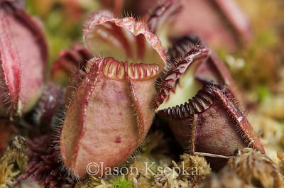 Cephalotus folicularis, Albany Pitcher Plant; Hamilton Square, New Jersey  2013-11-22  #10