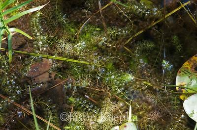 Aldrovanda vesiculosa, Waterwheel Plant & Utricularia intermedia, Flatleaf Bladderwort; Sullivan County, New York  2012-08-21  #2