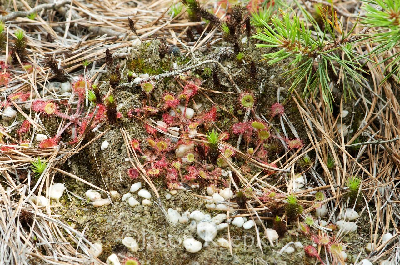 Drosera rotundifolia, Round-leaved Sundew; Ocean County, Progress Place, Jackson, New Jersey 2014-06-25   11