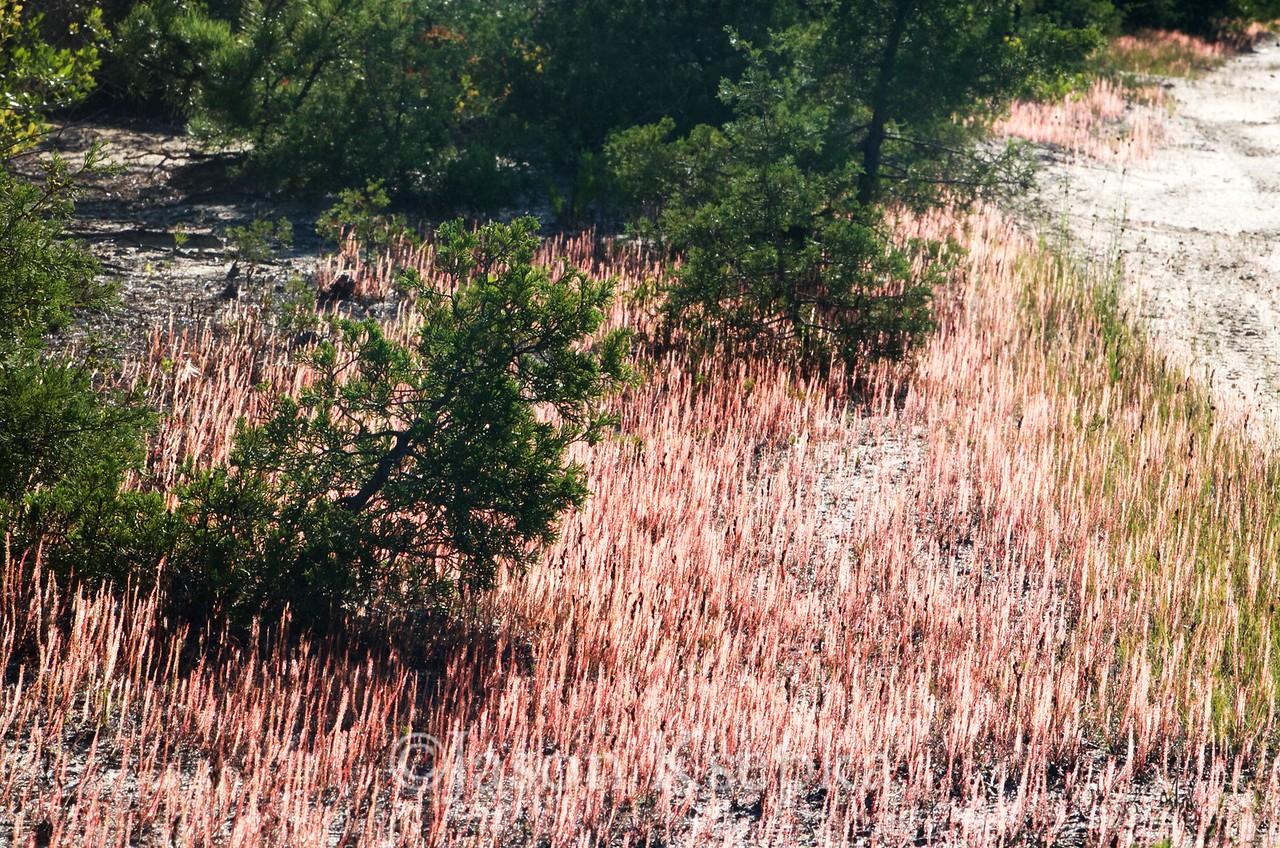 Drosera filiformis, Thread-leaf Sundew; Ocean County, New Jersey 2015-08-07   1