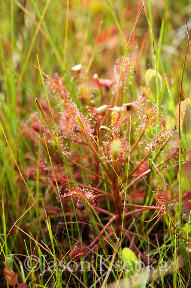 Drosera intermedia, Paddle-leaved Sundew; Ocean County, Progress Place, Jackson, New Jersey 2014-06-25   1