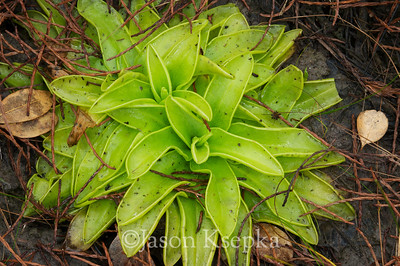 Pinguicula ionantha, Godfrey's Butterwort; Franklin County, Florida  2011-11-10  #3