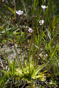 Pinguicula ionantha, Godfrey's Butterwort; Liberty County, Florida 2009-04-12 27