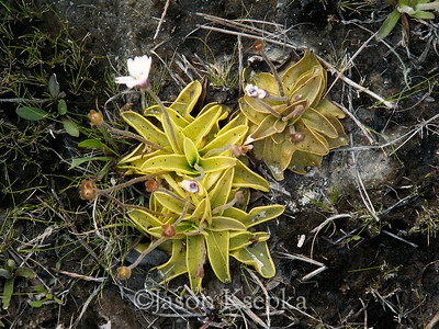Pinguicula ionantha, Godfrey's Butterwort; Liberty County, Florida  2006-04-01  #38