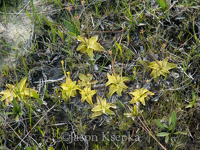 Pinguicula ionantha, Godfrey's Butterwort; Liberty County, Florida  2006-04-01  #37