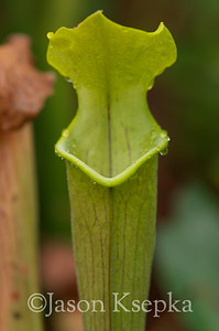 Sarracenia alabamensis alabamensis, Cane-brake Pitcher Plant; Autauga County, Alabama  2013-09-25  #34