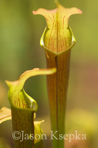 Sarracenia alabamensis alabamensis, Cane-brake Pitcher Plant; Autauga County, Alabama  2013-05-23  #16