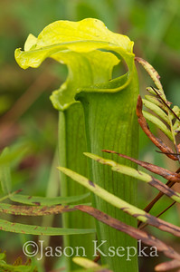 Sarracenia alabamensis alabamensis, Cane-brake Pitcher Plant; Autauga County, Alabama  2013-09-25  #24