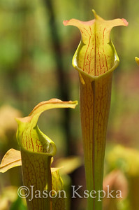 Sarracenia alabamensis alabamensis, Cane-brake Pitcher Plant; Autauga County, Alabama  2013-05-23  #17