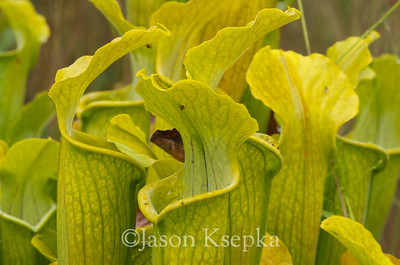 Sarracenia alabamensis alabamensis, Cane-brake Pitcher Plant; Autauga County, Alabama  2013-09-25  #11