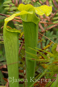 Sarracenia alabamensis alabamensis, Cane-brake Pitcher Plant; Autauga County, Alabama  2013-09-25  #29
