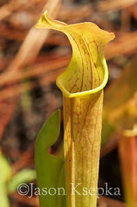 Sarracenia alabamensis alabamensis, Cane-brake Pitcher Plant; Autauga County, Alabama  2013-05-23  #4