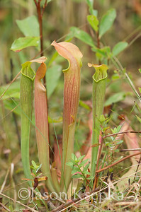 Sarracenia alabamensis alabamensis, Cane-brake Pitcher Plant; Autauga County, Alabama  2013-09-25  #6