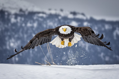 Bald eagle takes off