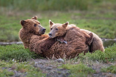 Mother Grizzly & Yearling Cub