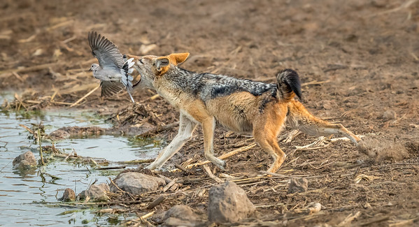Black-backed jackal grabbing for turtle dove