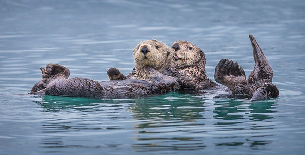 wary sea otters