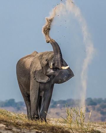 African elephant dust bathing