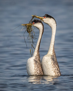 Western Grebes Courting Grass Dance