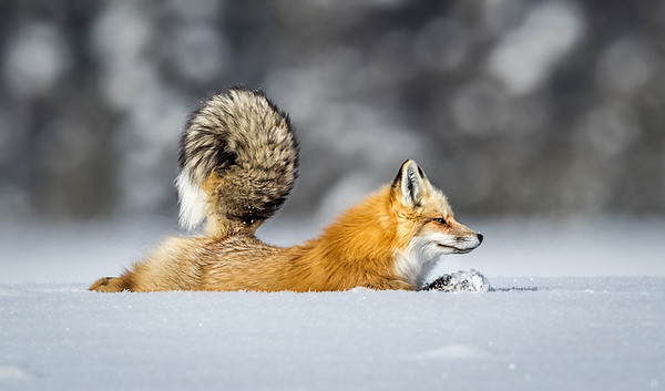 Red fox stretching, Yellowstone National Park