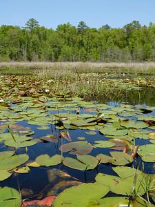 Carolina Bay Wetland