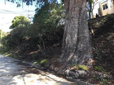 The eucalyptus tree without the dropped bark. Hooray!