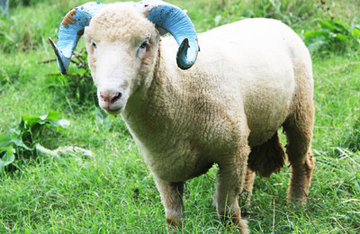 After Rameses died last year, his replacement also died. This ram, named Rocky, is the new baby ram who was featured at Saturday's football game against Elon. He lives at Hogan Farm in Chapel Hill.